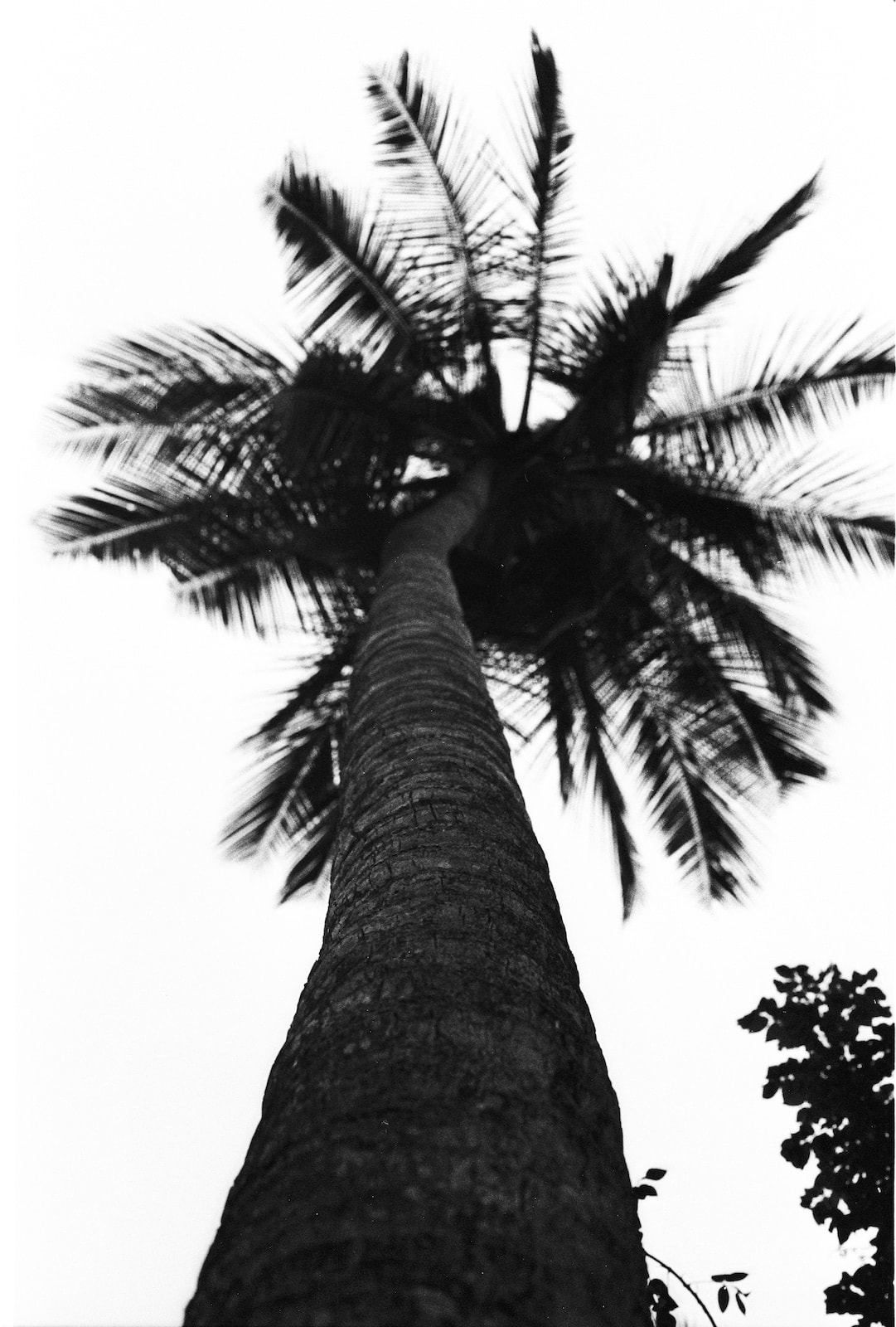 Palme in schwarz weiß, analog
